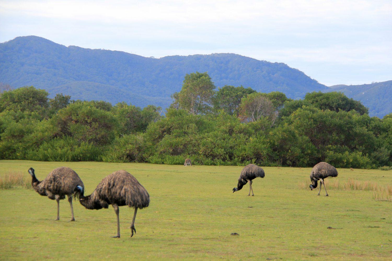 Auch Emus findet man im Wilsons Promontory Nationalpark.