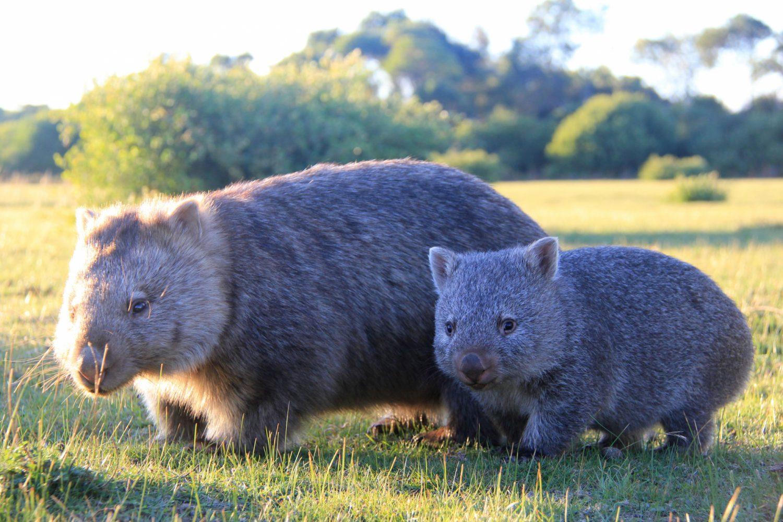 Australien erleben: Wilsons Promontory Nationalpark - Wombats
