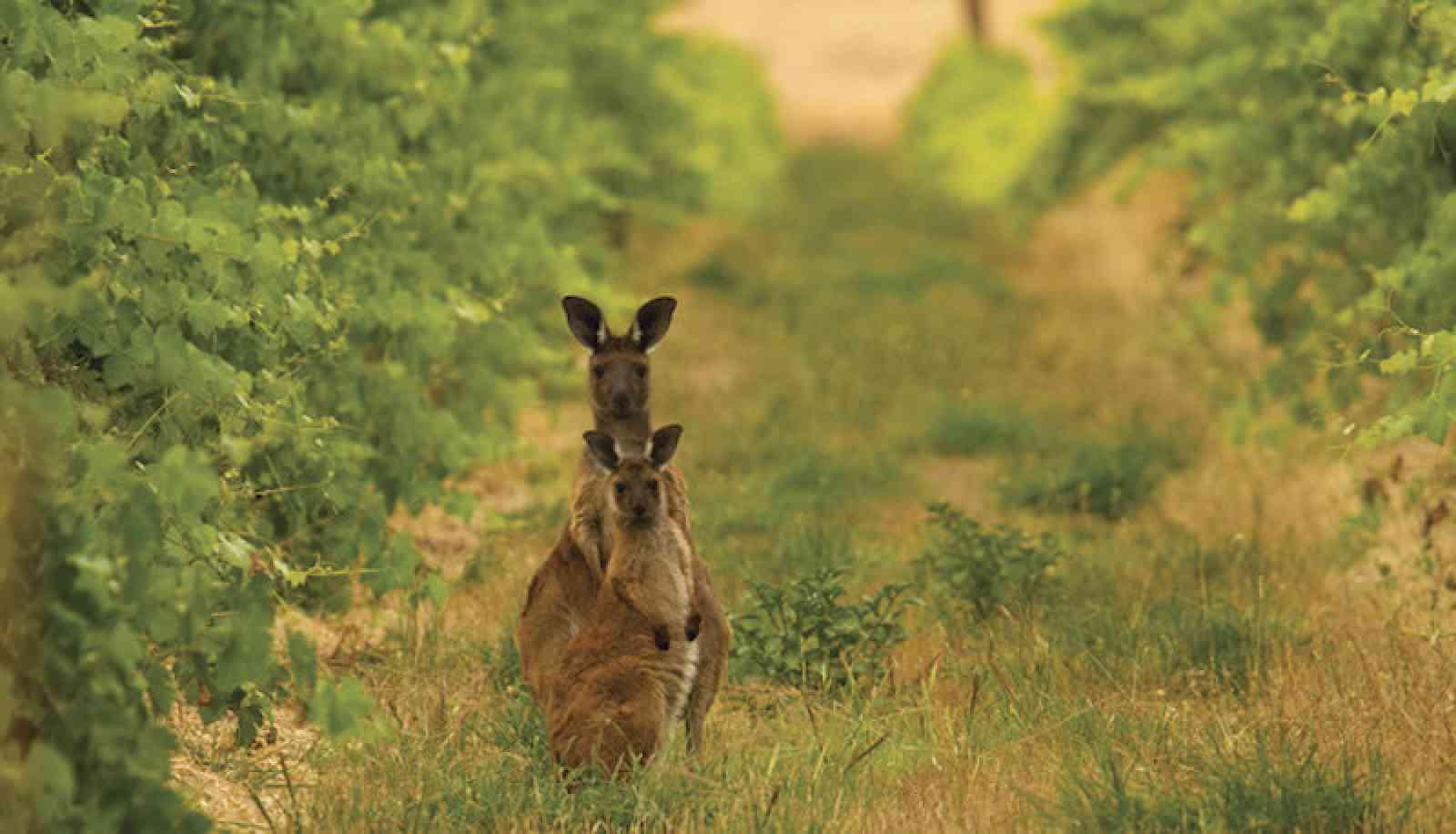 Kängurus zwischen Weinreben in Südaustralien