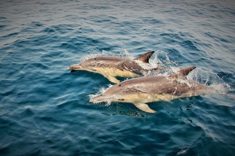 Delfine in der Bay of Fires