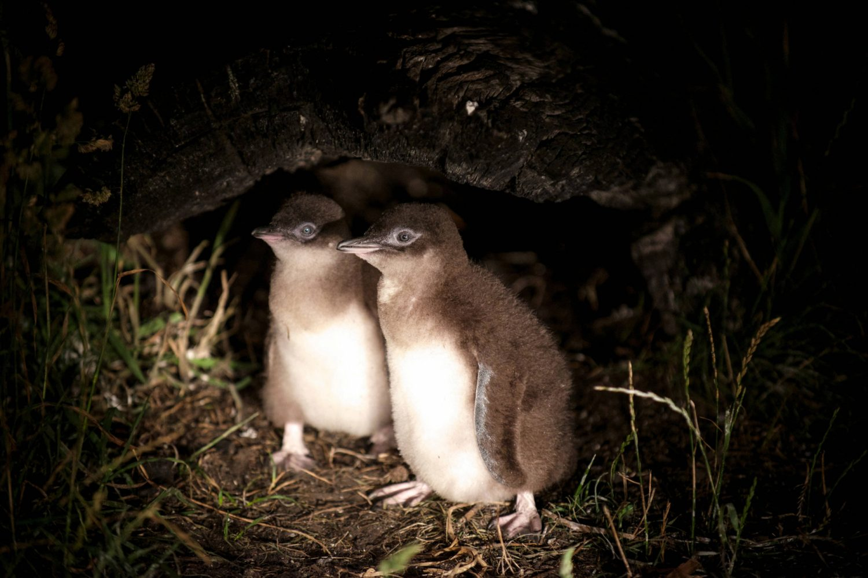 Pinguin-Babys in Bicheno