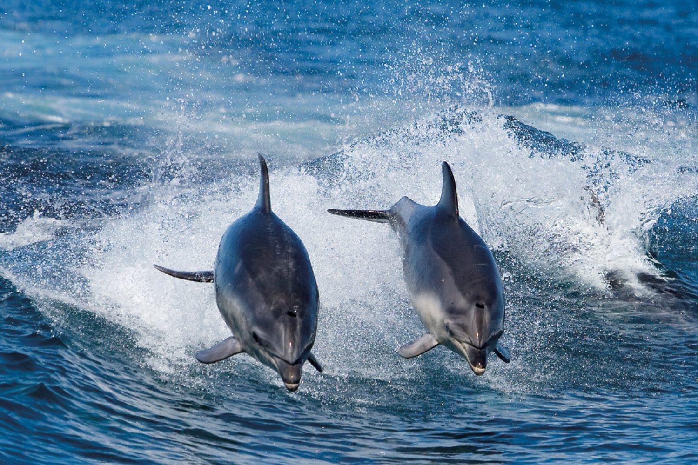 Delfine vor der tasmanischen Küste