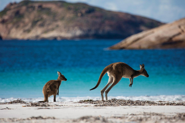 Australien Urlaub: Westaustralien - Kängurus in der Lucky Bay