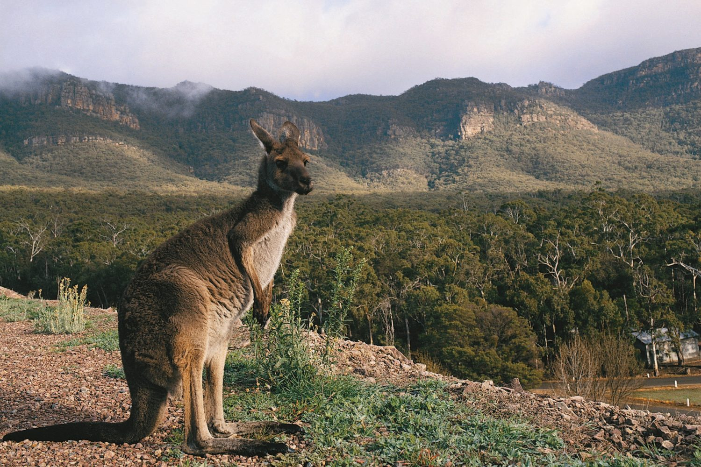 Känguru in den Grampians