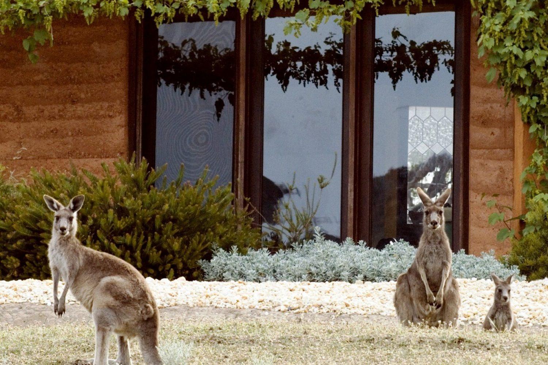 Kangaroos in the Top Paddock