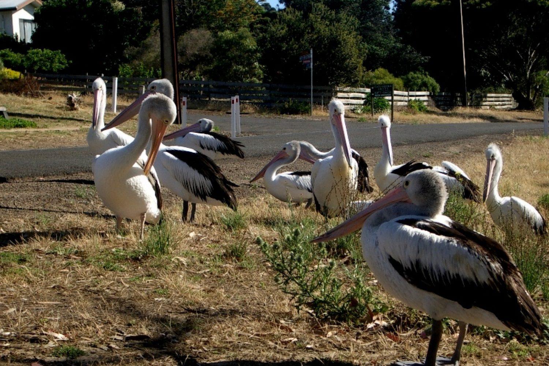 Pelikane bei Kestrel Downs