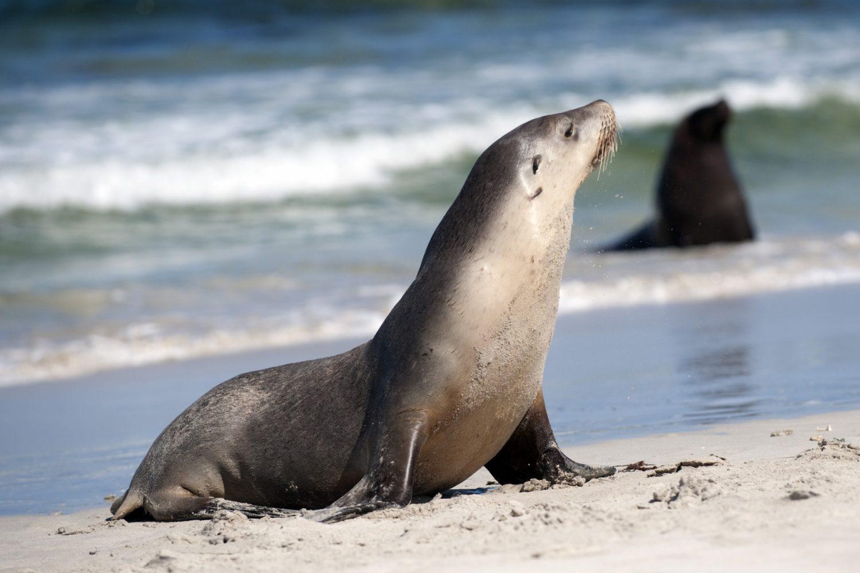 Kangaroo Island: Robben in der Seal Bay
