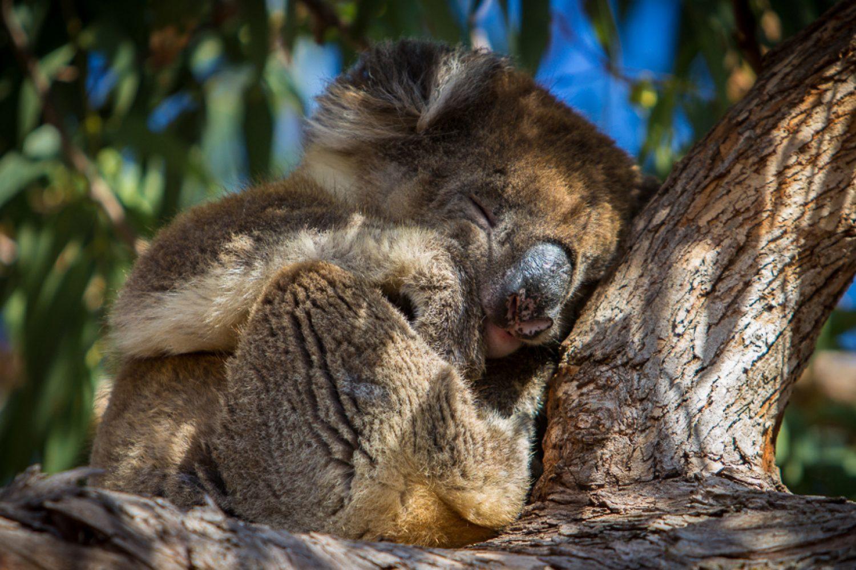 Kangaroo Island: Koala