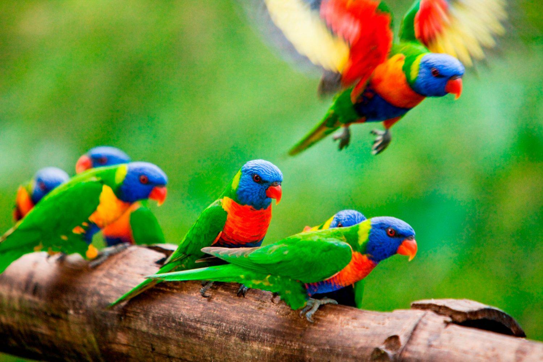 Die Atherton Tabelands sind ein Hotspot für Vögelbeobachtungen. Mehr als 160 bekannten Arten sind hier heimisch. Geführte Touren sind möglich.
