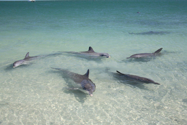 Die freundlichen Tümmler von Monkey Mia sind wohl die bekanntesten Delfine in Australien.