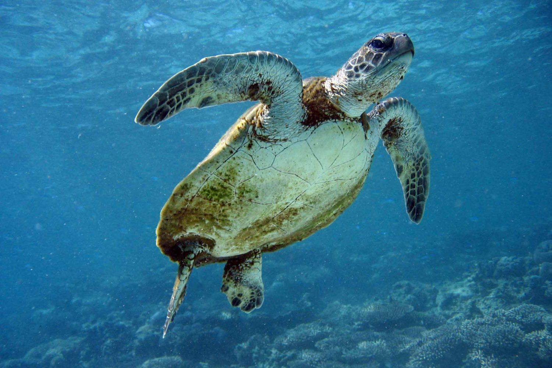 Australien Urlaub: Ningaloo Marine Park - Meeresschildkröte