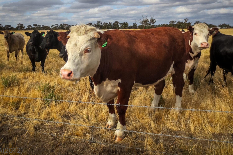 O'Deas Cottages: Kühe der Farm
