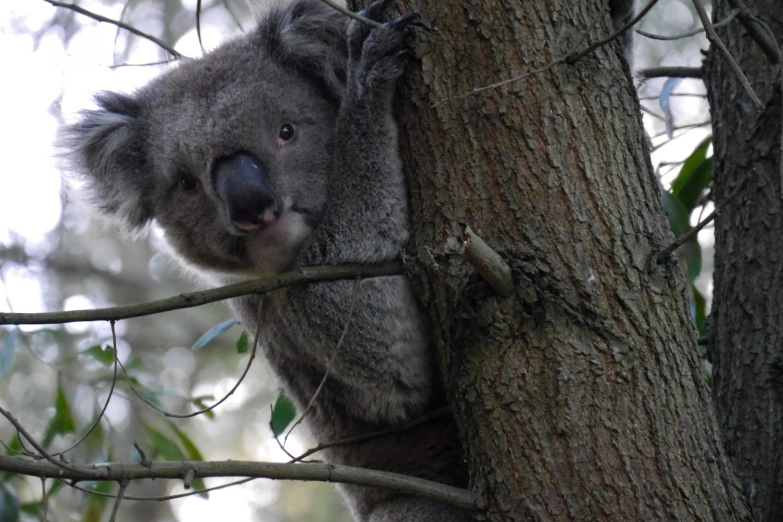 Australien: Koala im Great Otway Nationalpark