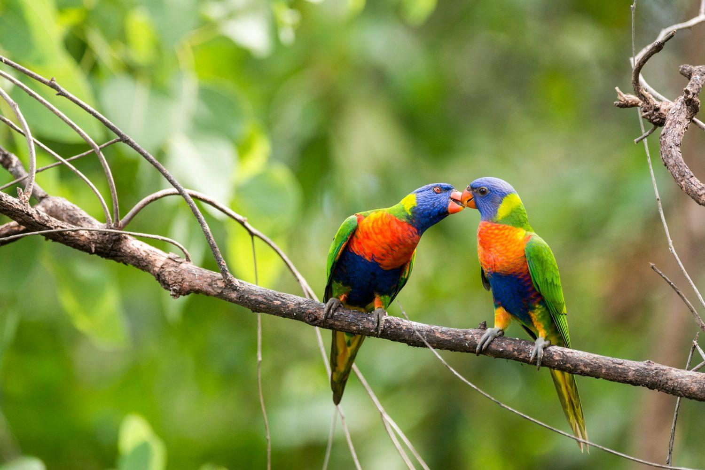 Thala Beach Lodge: Papageien