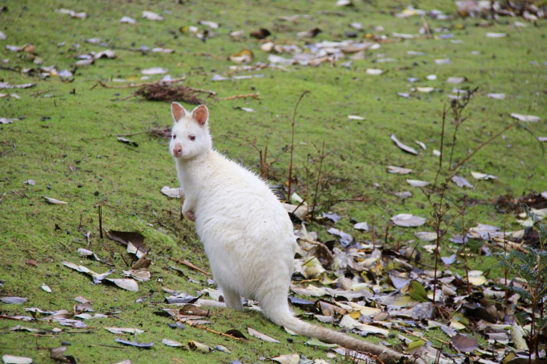 Bruny Island: Albino-Wallaby