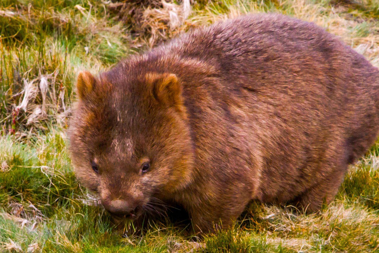 Am Cradle Mountain in Tasmanien begegnen Sie den Wombats hautnah