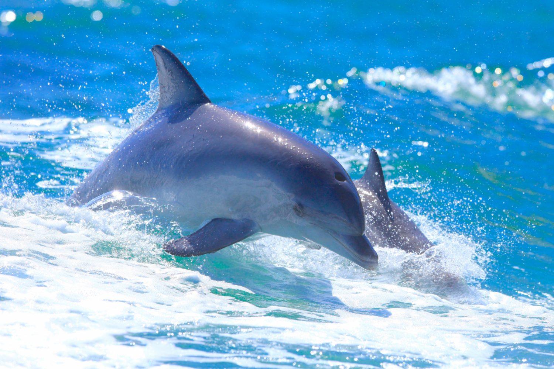 Vor der Küste Kangaroo Islands leben viele Delfine