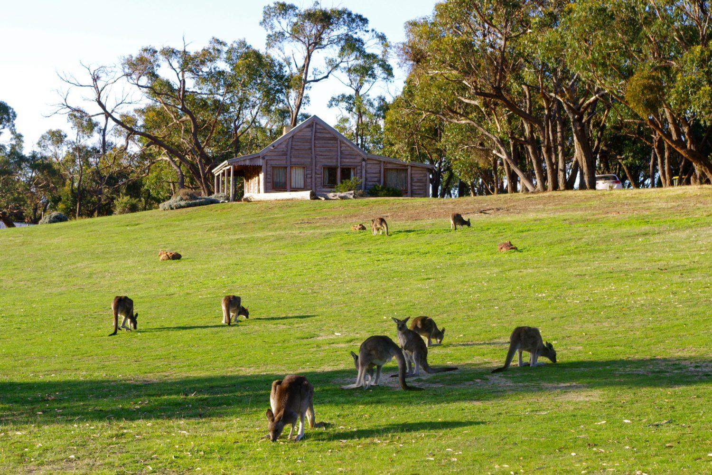 Kangoeroes voor de Grampians Pioneer Cottage in Australië