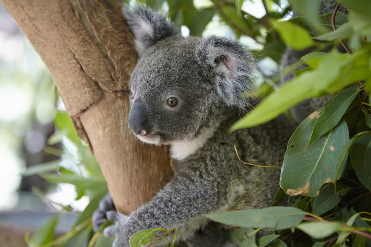 Koala in een Eucalyptusboom op Magnetic Island