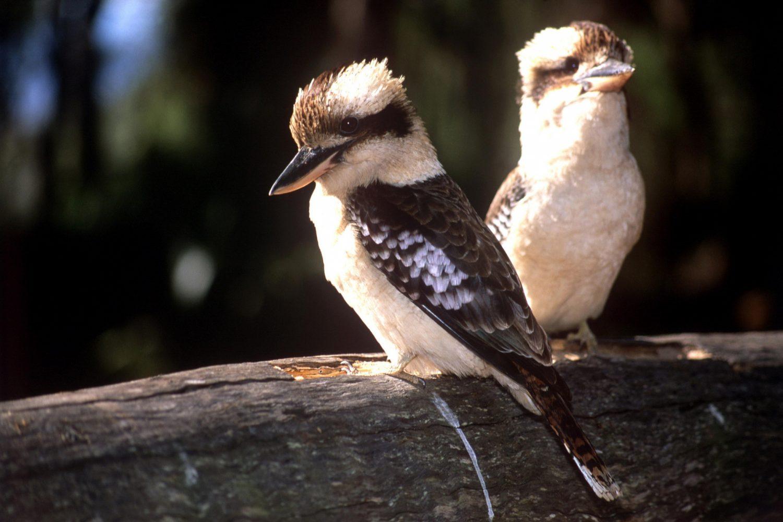 Bijzondere vogels op Magnetic Island