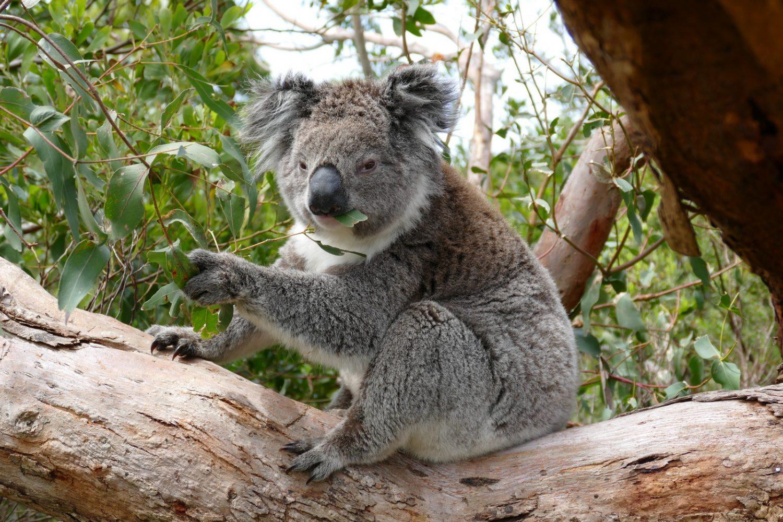 Koala im Otway Nationalpark
