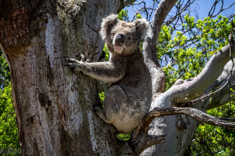 Koala an der Great Ocean Road
