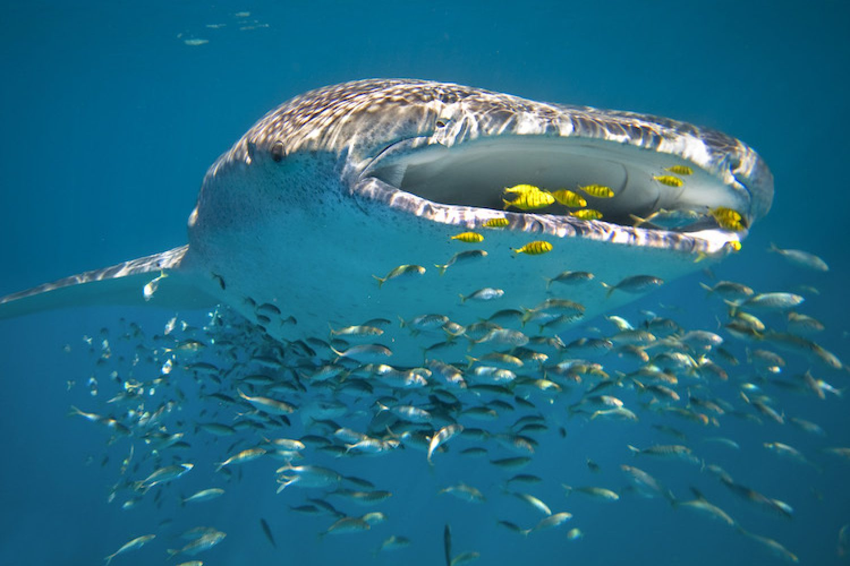 Für alle, die das ultimative Abenteuer suchen, empfehlen wir unbedingt mit den friedfertigen Walhaien schwimmen zu gehen.