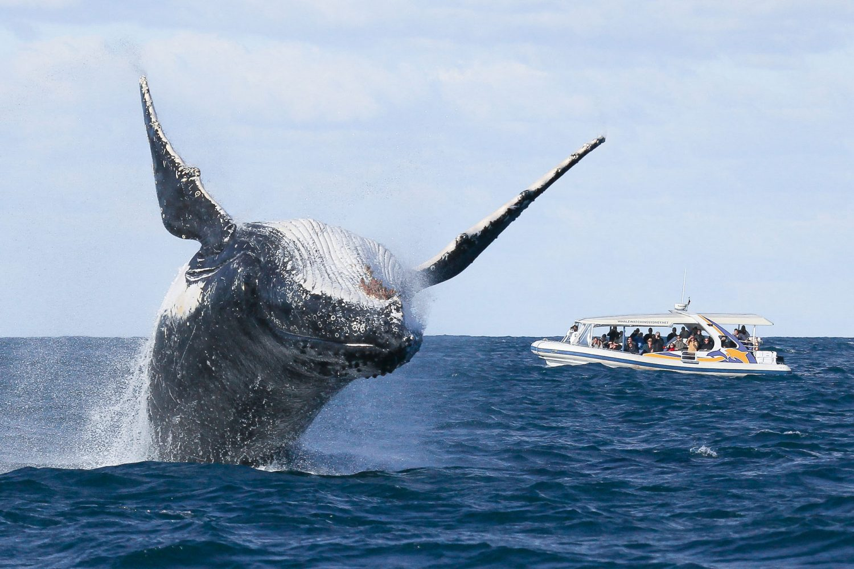 Große Sprünge von faszinierenden Meerestieren beim Whale Watching in Sydney