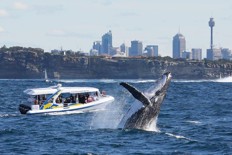 Großer Buckelwal beim Whale Watching in Sydney