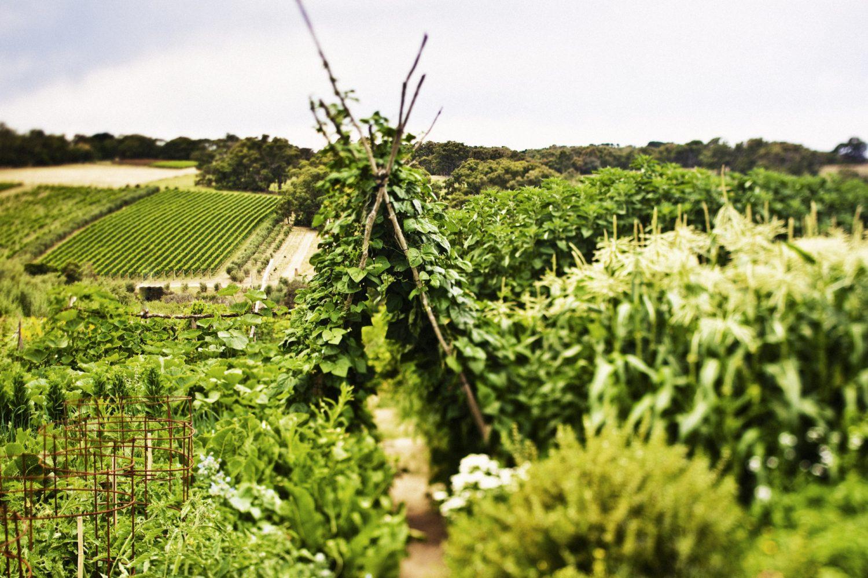 Een van de wijngaarden van Mornington Peninsula