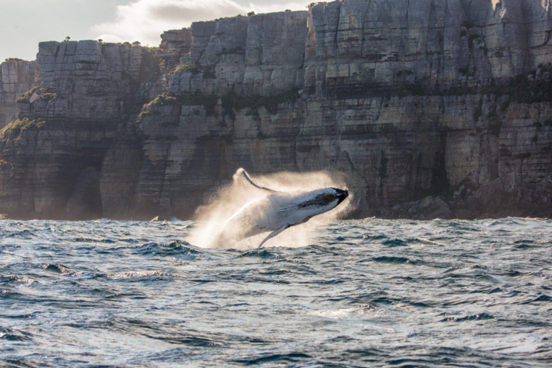 Jervis Bay ist einer der besten Orte für Walbeobachtungen in Australien. Sprechen Sie uns an, wenn Sie eine Tour zu Ihrer Reise hinzufügen möchten.