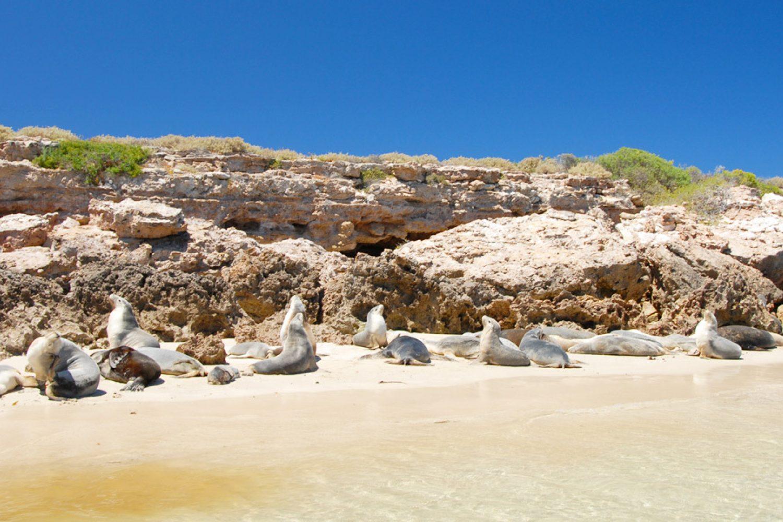 Seelöwen sonnen sich am Strand der Baird Bay.
