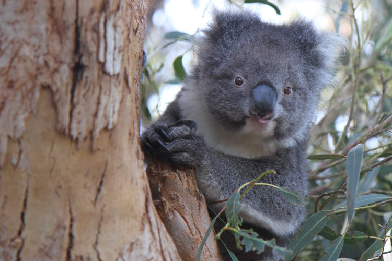 Während der Wilderness Tour besuchen Sie die Hanson Bay, wo Sie mit hoher Wahrscheinlichkeit Koalas in freier Wildbahn erleben werden.