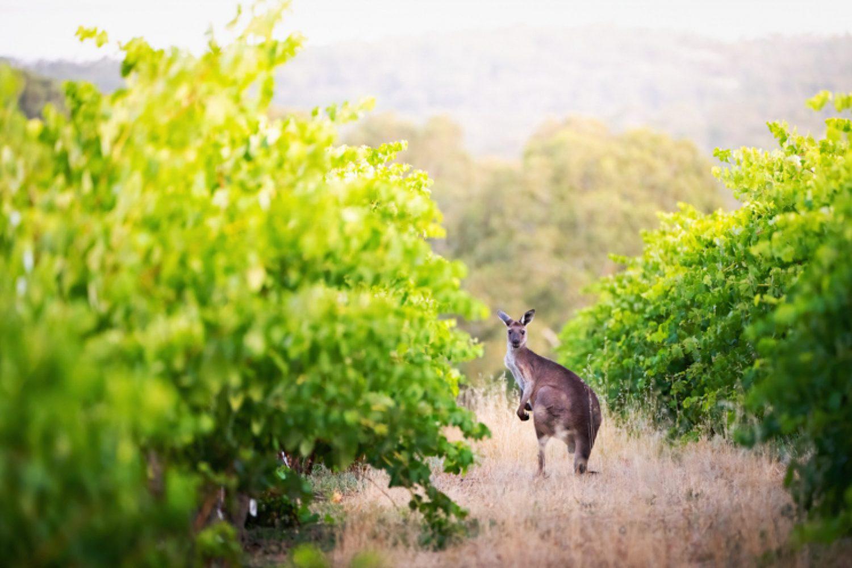 Mehr als 150 Weingüter gibt es im Barossa Valley, die vor allem rote Tropfen mit viel Bouquet keltern.
