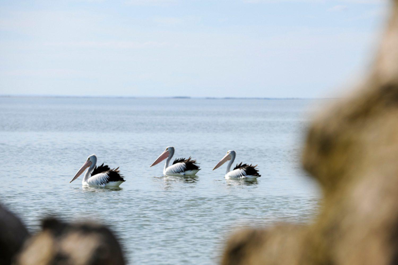 Vogelliebhaber kommen hier auf ihre Kosten: Die Küste von Coorong ist eine Brutstelle für große Pelikane und Wildenten. Im National Park wurden bereits 238 verschiedene Vogelarten gesichtet.