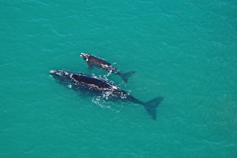 Auch Wale lassen sich an der Küste der Fleurieu Peninsula blicken.