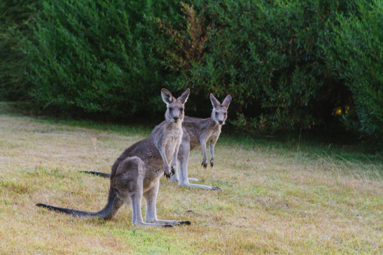 Auf dem Areal Ihrer Unterkunft in Gipsy Point sind viele Kängurus zu Hause, die Sie beobachten können.