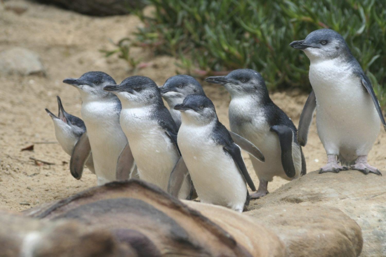 """Auf der Wildlifetour erfahren Sie einiges über die kleinsten Pinguine der Welt und können die niedlichen Tiere im Anschluss live beobachten, wenn Sie nach """"Feierabend"""" aus dem Ozean über den Strand nach Hause kommen und in ihre Nester watscheln."""