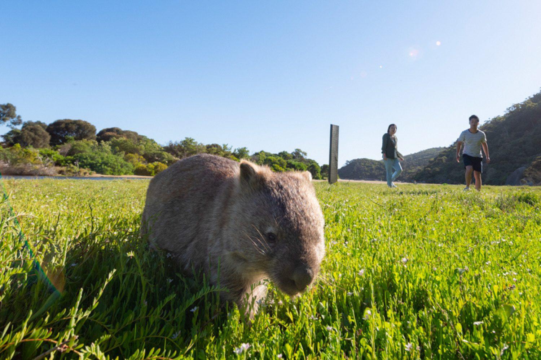Im Wilsons Promontory Nationalpark begegnen Sie der heimischen Tierwelt wie dem süßen Wombat.