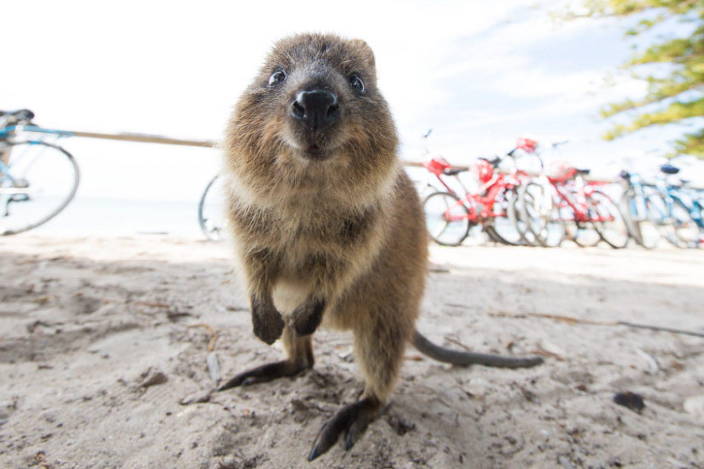 Rottnest Island: Einen Besuch sind die niedlichen Quokkas der Insel wert
