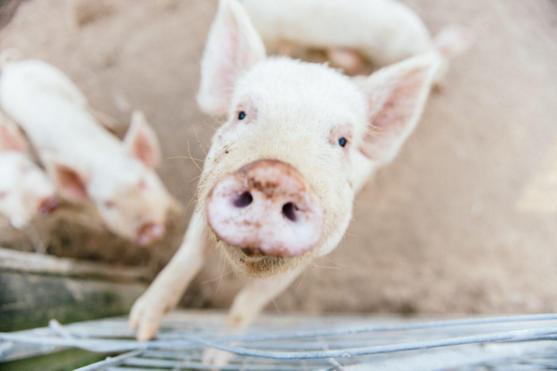 ...Schweine, Kühe, Geflügel und die beiden Hunde Ihrer Gastgeber Mark und Emma.
