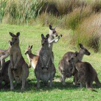Teaser Tanja Lagoon Camp Kangaroos