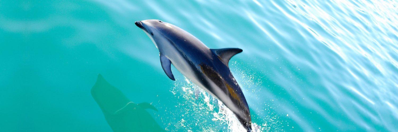 Header Wildlife Spotten Dolfijn2 Nieuw Zeeland