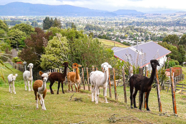Hinter Ihrer Unterkunft grasen friedliche Alpacas.