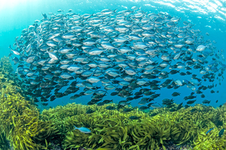 Gehen Sie vor der Tutukaka-Küste auf Tauchgang, um die solche großen Fischschulen zu sehen.