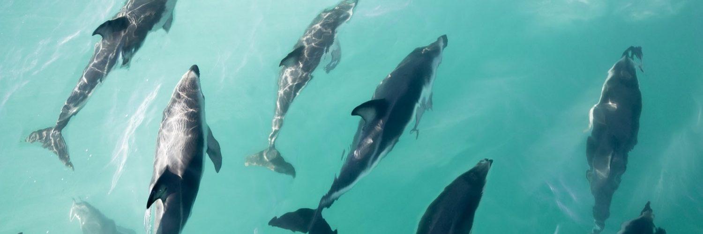 Kaikoura Dolfijnen Nieuw Zeeland