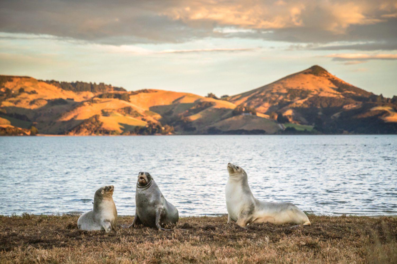 Auf der Otago Peninsula, lebt eine Vielzahl von fantastischen Wildtieren. Auf der Wildlife Tour lernen Sie diese aus nächster Nähe kennen - wie hier die Seelöwen.