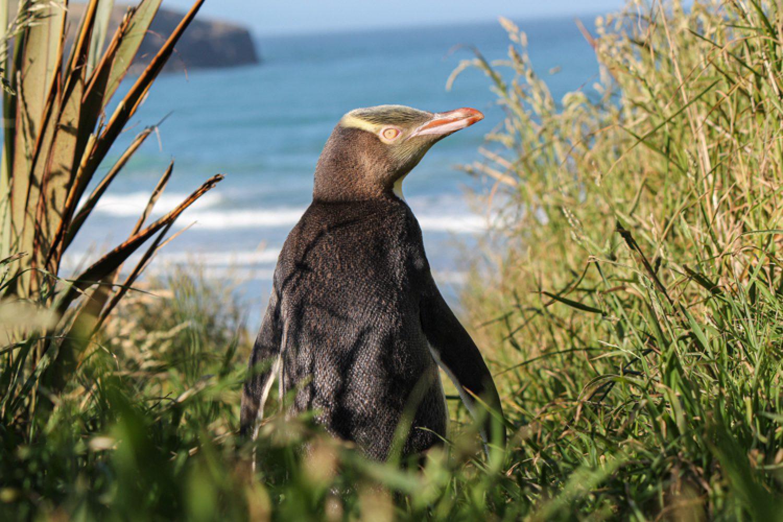 Des weitern leben hier seltene Gelbaugenpinguine, Albatrosse und Seelöwen.