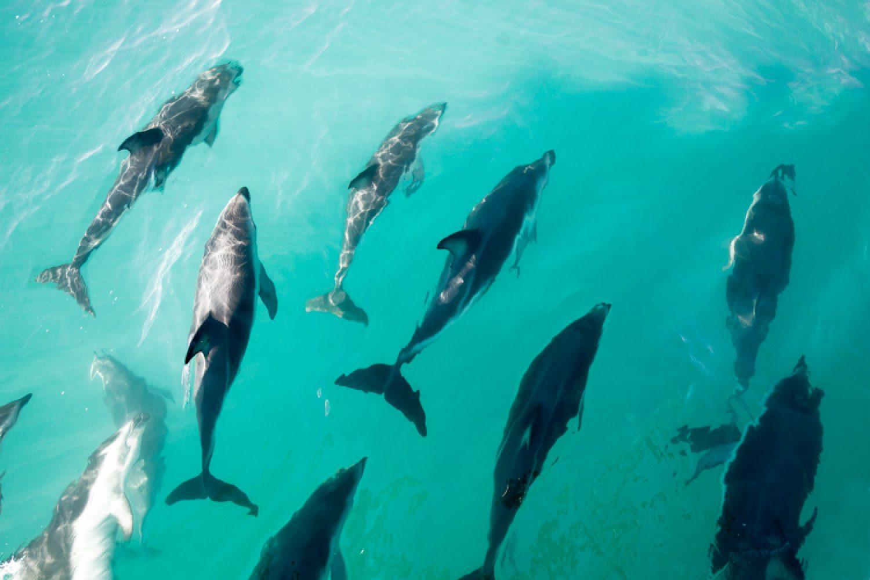 In der Bucht von Akaroa leben rund 30 Hector-Delfine, eine seltene Art, die nur hier vorkommt. Auch die größte Pinguin-Kolonie des Festlands fühlt sich hier heimisch.