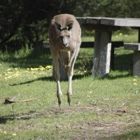 Hergenroeder Kaenguru
